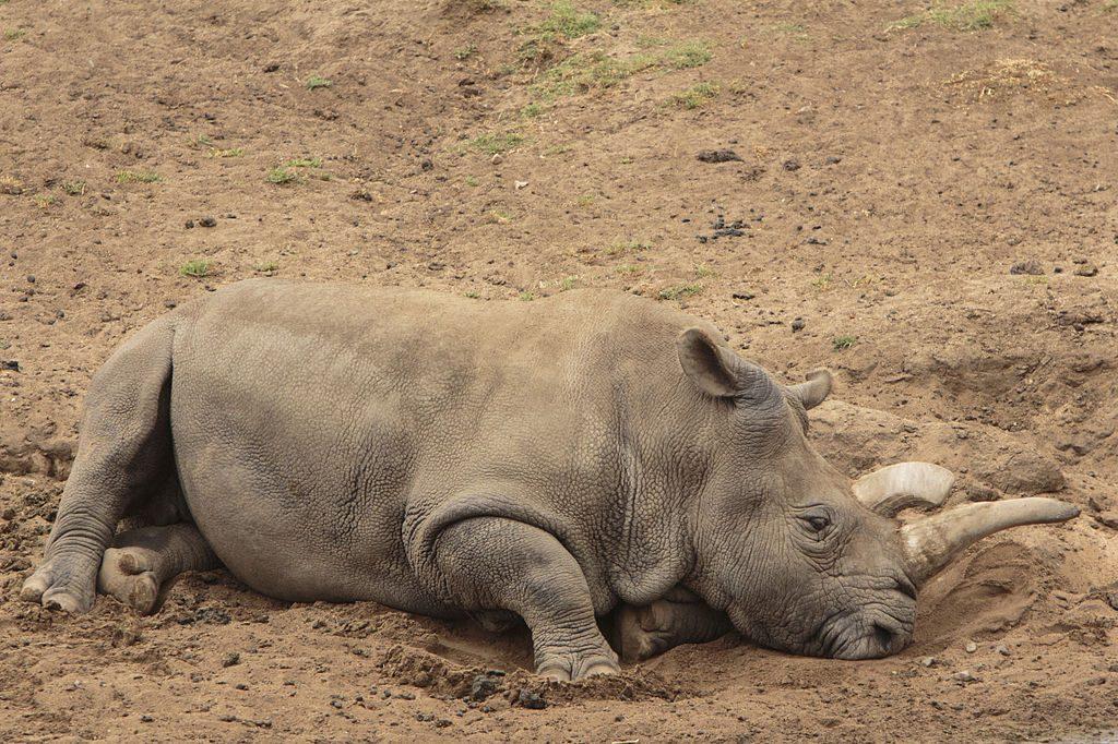 Sudan - Chú tê giác trắng bắc phi cuối cùng của loài đã chết