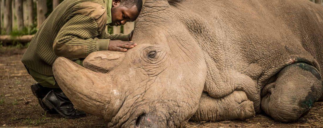 Tê giác trắng cuối cùng vừa qua đời